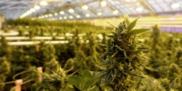 As legalization looms, Canada's pot companies about to be tested